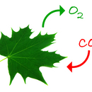 Fotosynt    resp 1  Trombax  shutterstock 24758449